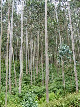 Bosque de eucalipto en Galicia (España) cerca de Viveiro.