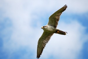 Halcón gerifalte (Falco rusticolus) 3/4