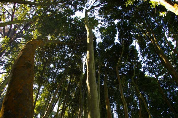 Bosque de laureles. Con 2,5 hectáreas es el más grande de Europa