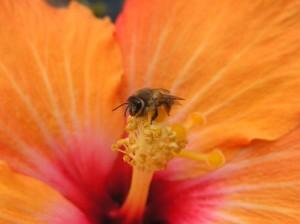 Abeja en una flor de hibisco. Swakopmund.