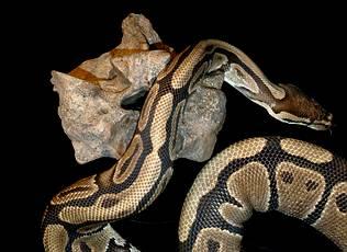 anaconda-comparada-con-la-vertebra