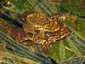 Pareja de sapos comunes en amplexus durante la puesta