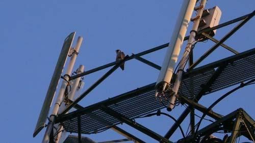 halcon-en-torreta-de-telecomunicaciones