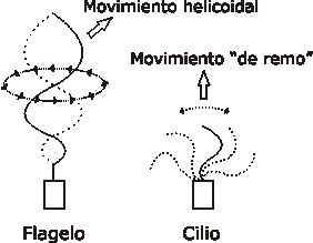 movimiento-de-cilios-y-flagelos