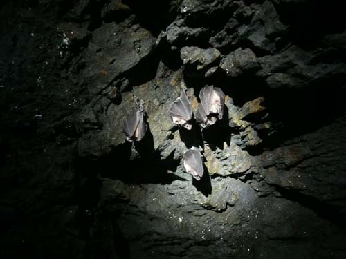 grupo-de-rinolofos-hibernando-general