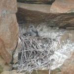 Campaña de anillamiento: Halcones peregrinos