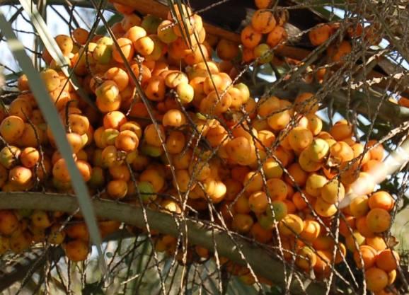 30-frutos-de-butia