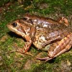 ¿A qué escala nos movemos? Microcosmos acuáticos: parasitismo de sanguijuelas sobre anfibios