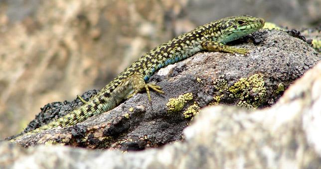 lagarto-antes