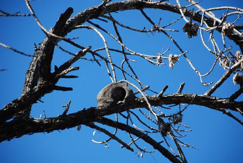 nido-hornero
