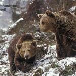 """Hábitat organiza """"Encontros naturalistas"""". 31 Julio. El oso pardo."""