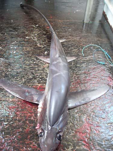 tiburon_zorro_04