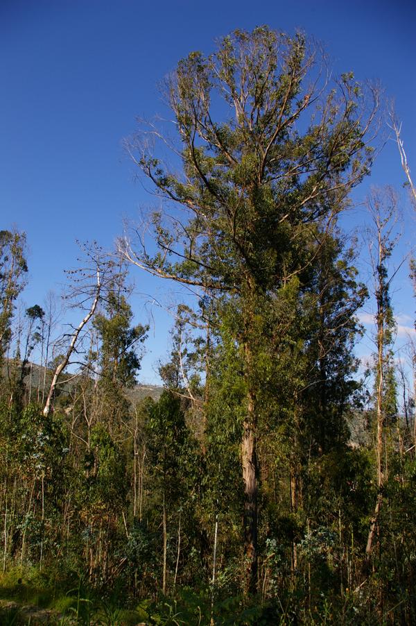Eucaliptos después de un incendio. Los brotes epicórmicos han brotado y numerosas ramas nuevas salen del tronco