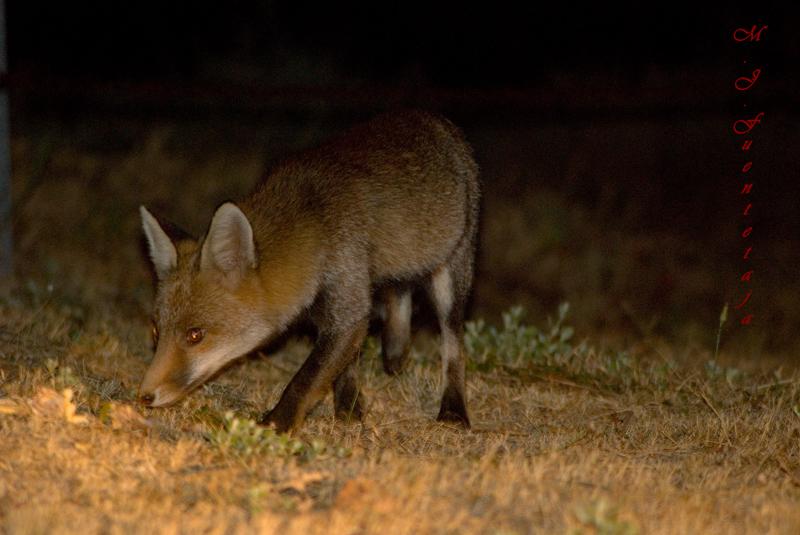 Zorro rojo (Vulpes vulpes) rastreando por los límistes del parque natural.