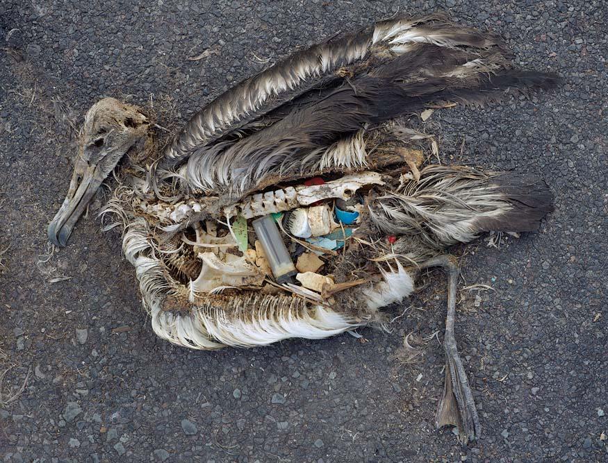 Urgente: aves rellenas de basura