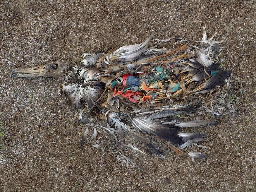 albatros_chick_plastic_death4