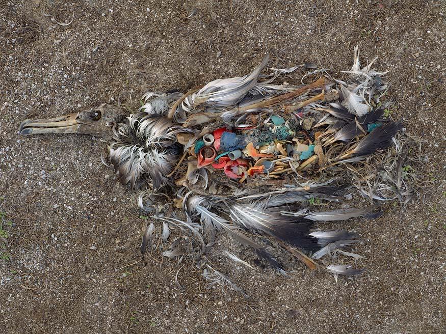 albatros_chick_plastic_death4