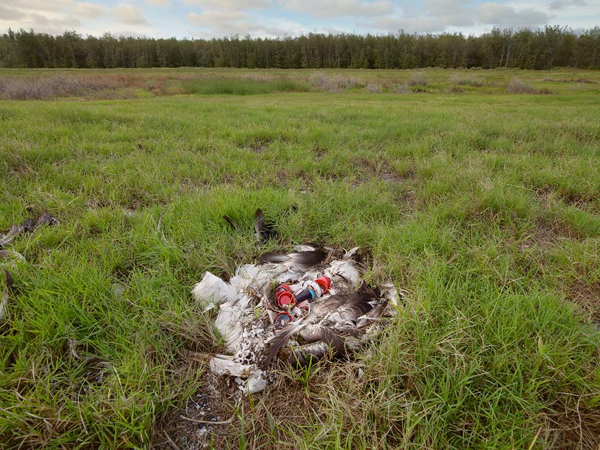 albatros_chick_plastic_death_wide_view