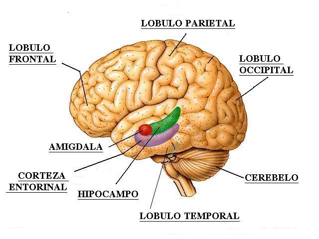 funciones del cerebro humano. cerebro humano.