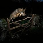 José Luis Rodríguez y la magia del lobo ibérico