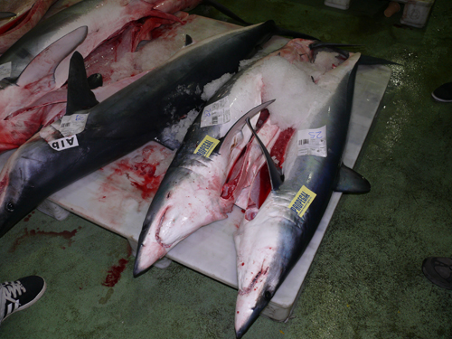 lonja_tiburones2