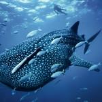 El pez más grande del mundo