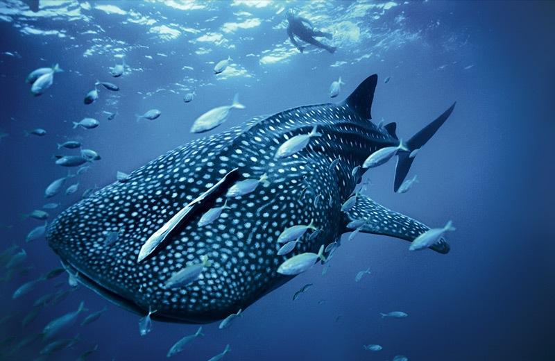 life-in-blue-tiburon-ballena