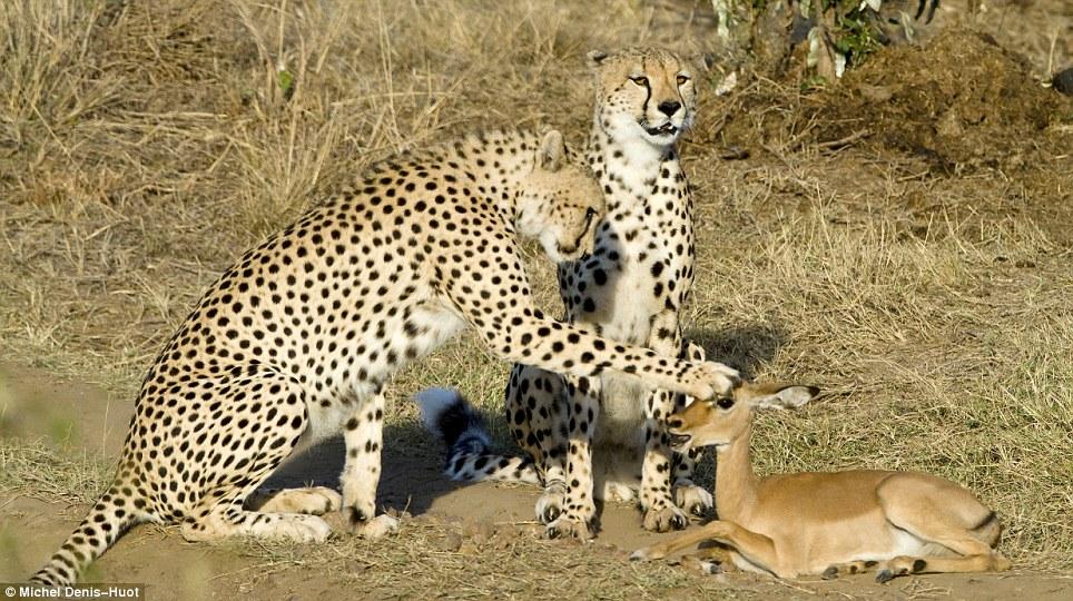guepardos_jugando_con_antílope
