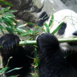"""Los osos panda adultos ven películas """"porno"""" y los peques van a la """"guardería"""""""
