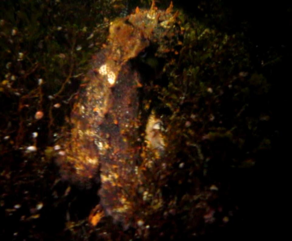 pulpo camuflado entre algas