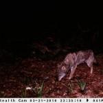 Lobo en la sierra del Suído
