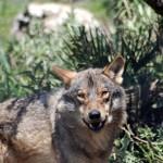 El eterno problema de maese lobo…