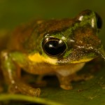 La rana pinocho, el canguro más pequeño del mundo y otras nuevas especies en Indonesia