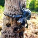 Cangrejo ermitaño gigante de tierra comedor de cocos