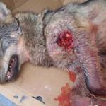 La gestión del Lobo en Castilla y León