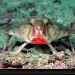 El pez murciélago de labios rosas