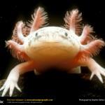 El axolotl