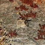 Los chotacabras pardos (Caprimulgus rufficollis)
