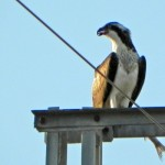 Águila pescadora al norte de Sanlúcar de Barrameda
