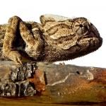 El camuflaje del camaleón