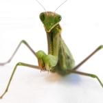 Casi la última plegaria de la mantis religiosa