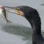 """Cormorán grande """"El ladrón de peces"""""""