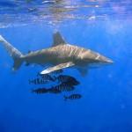 Tiburón: ataques en el Mar Rojo