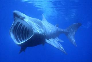 Cetorhinus maximus alimentándose
