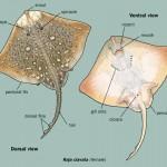 Animales de mar por dentro: la raya