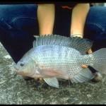 Acuicultura X: peces de agua dulce, la tilapia.