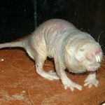 La rata topo desnuda, el único mamífero eusocial