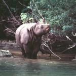 Aún hay esperanza para el rinoceronte de Java