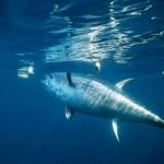 El problema del atún rojo
