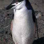 Pingüino de Barbijo (Pygoscelis antartica)